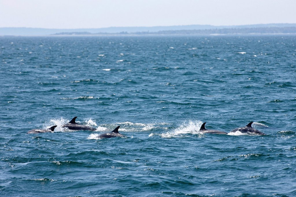 White_sided Dolphins, Lagenorhynchus obliquidens, off Grand Manan Island, Bay of Fundy, New Brunswick, Canada : Stock Photo
