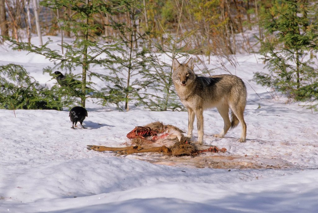 Eastern Canadian Wolf Canis lycaon feeding on White_tailed Odocoileus virginianus carcass with Common Ravens Corvus corax  hoping for a share. May be a subspecies of Gray Wolf Canis lupus. Listed as critically endangered and seems closely related to the R. Eastern Canadian Wolf Canis lycaon feeding on White_tailed Odocoileus virginianus carcass with Common Ravens Corvus corax  hoping for a share. May be a subspecies of Gray Wolf Canis lupus. Listed as critically endangered and seems closely rela : Stock Photo