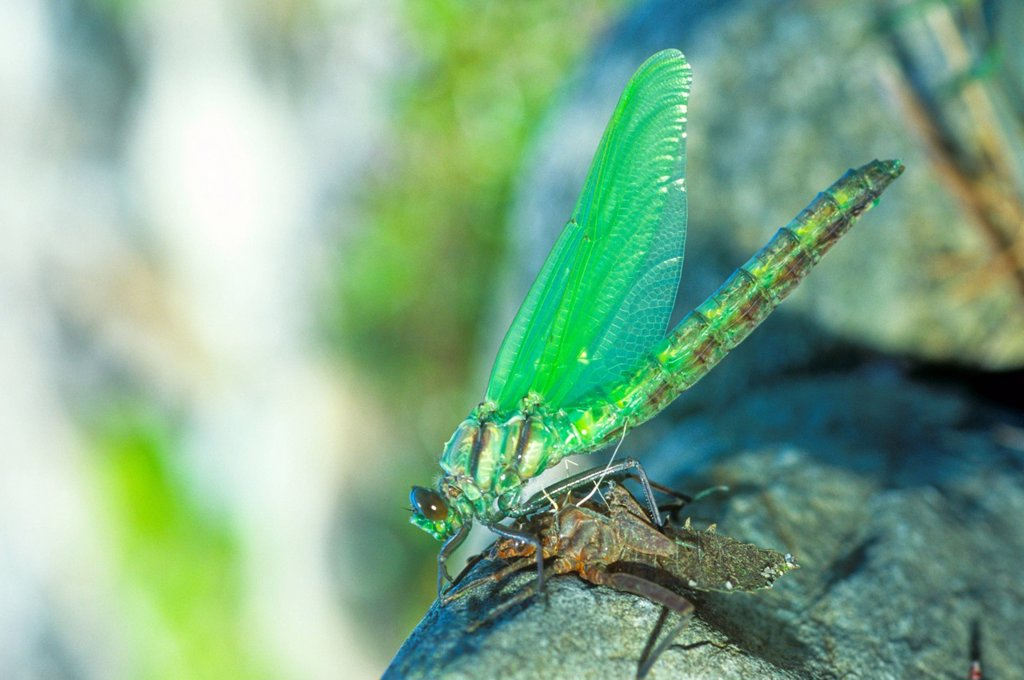 Anax junius, Green Darner Dragonfly emerging from exoskelton, Snake Doctor, Darning Needle, Green Darner : Stock Photo