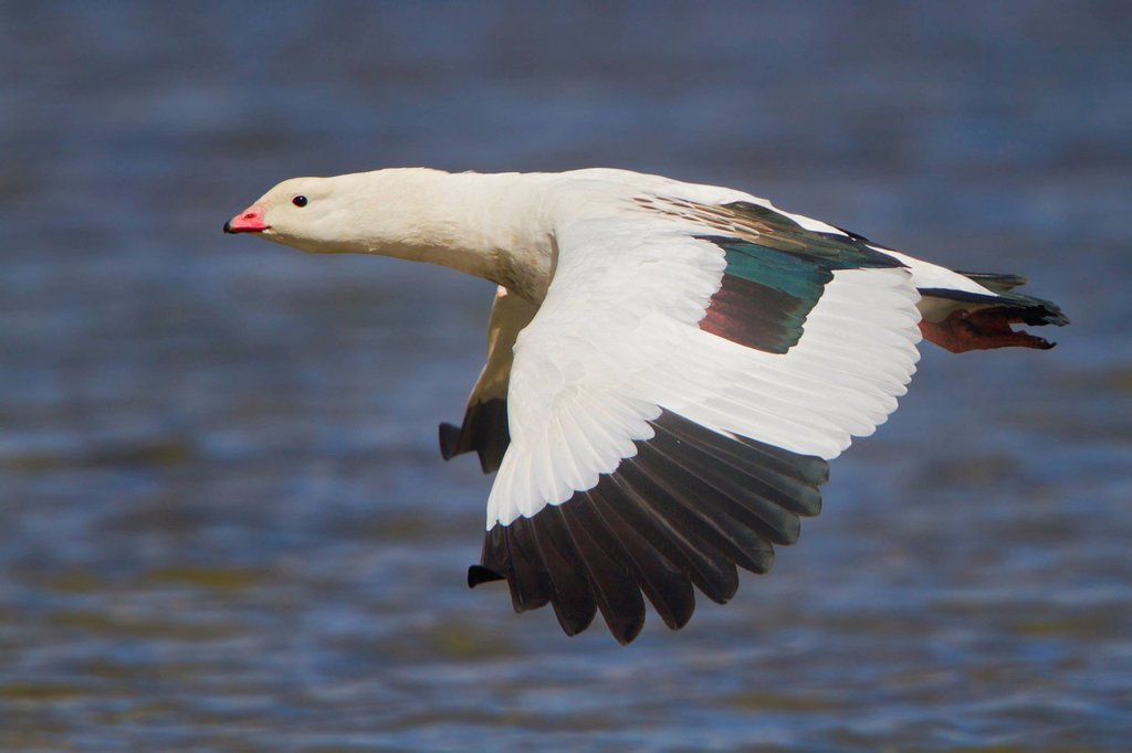 Andean Goose Chloephaga melanoptera flying in Peru. : Stock Photo