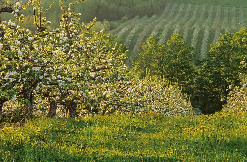 Stock Photo: 1990-4982 Apple Orchard, Blossom, Medford, Annapolis Valley, Nova Scotia, Canada