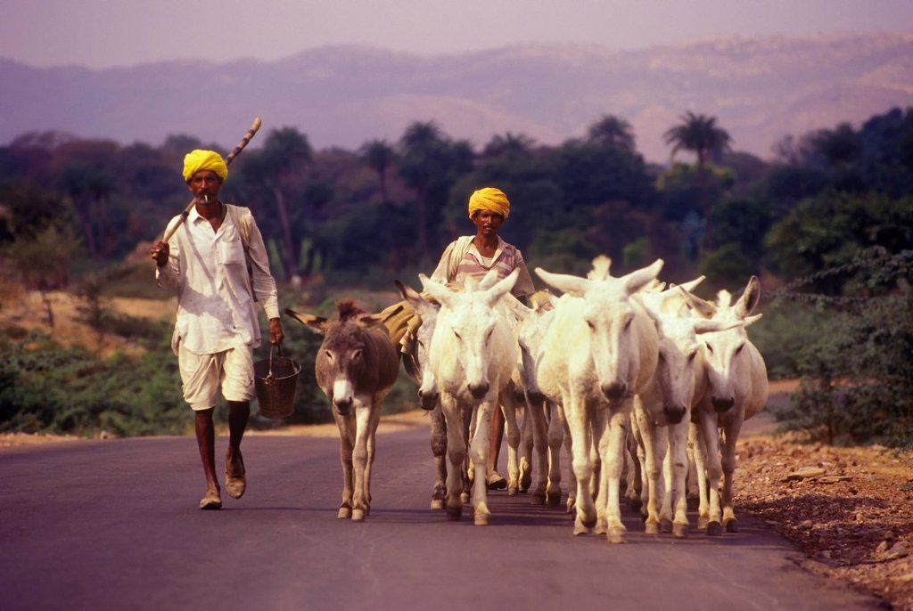 Stock Photo: 1990-50537 Donkey herders in rural Rajasthan, India