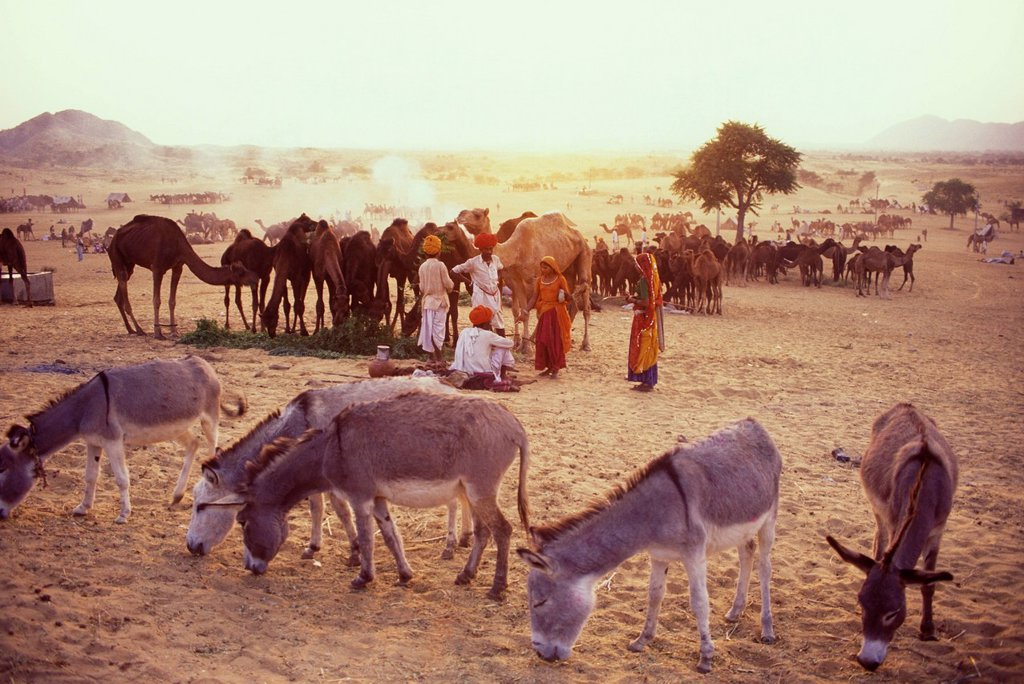 Stock Photo: 1990-50538 Camel herders at the Pushkar Camel Fair in Pushkar, Rajasthan, India