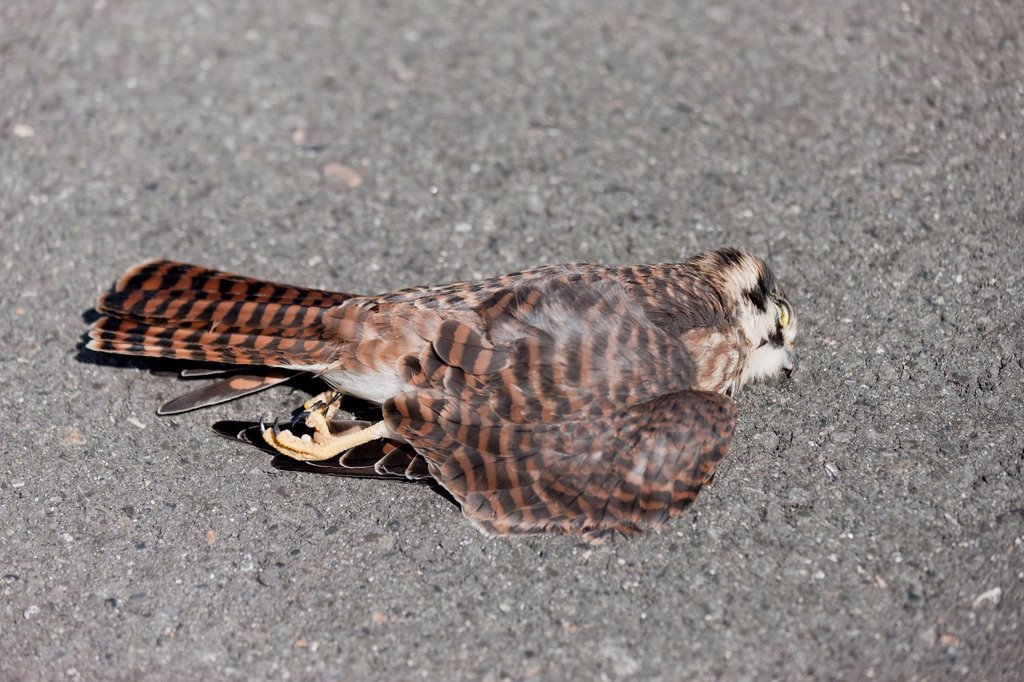 Dead American Kestrel Falco sparverius laying on the road, Kluane National Park, Yukon Territory, Canada : Stock Photo