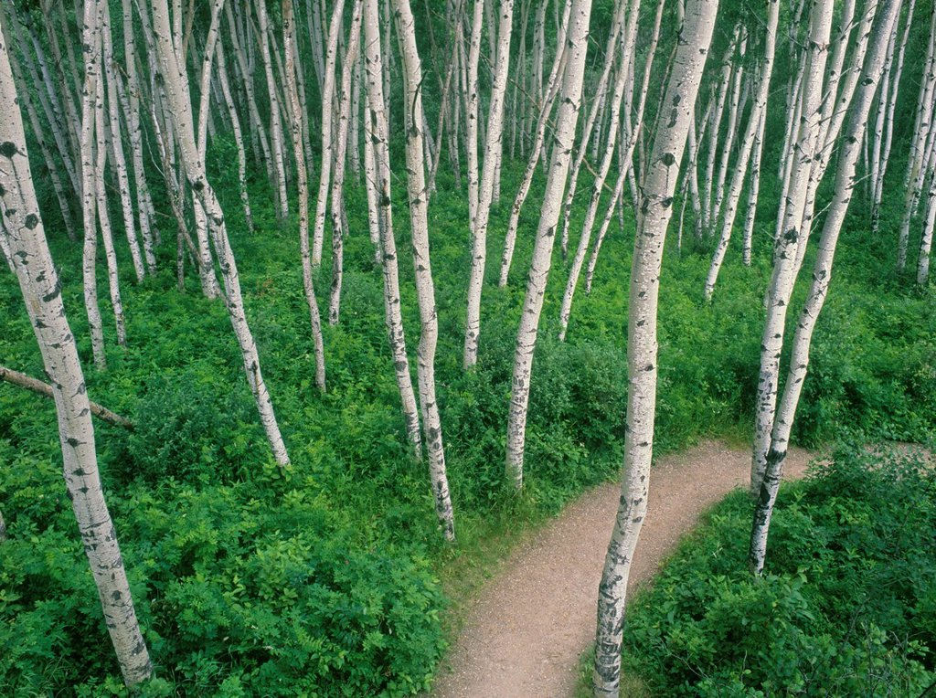Aspen grove, Prince Albert National Park, Saskatchewan, Canada. : Stock Photo