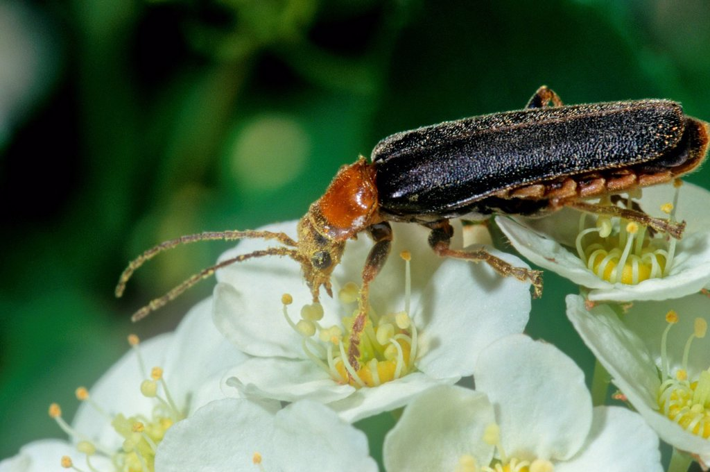 Downy Leather_wing Beetle, Podabrus tomentosus : Stock Photo