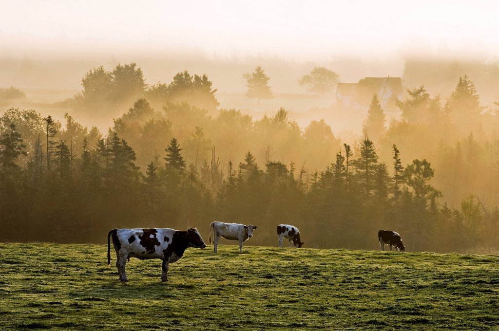 Stock Photo: 1990-52686 Cows in morning mist near Brae, Prince Edward Island, Canada.