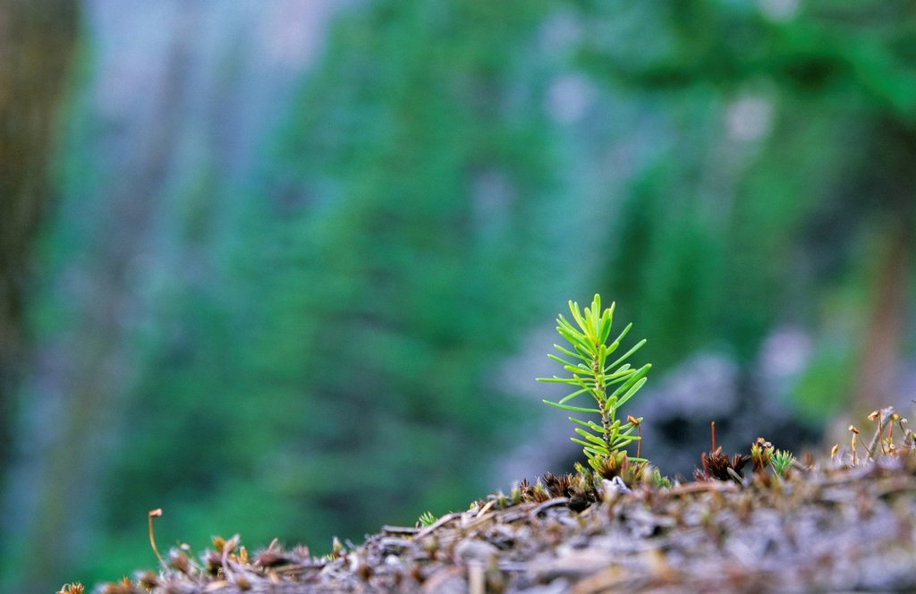 Stock Photo: 1990-52965 Subalpine fir seedling, Rockies, British Columbia, Canada.