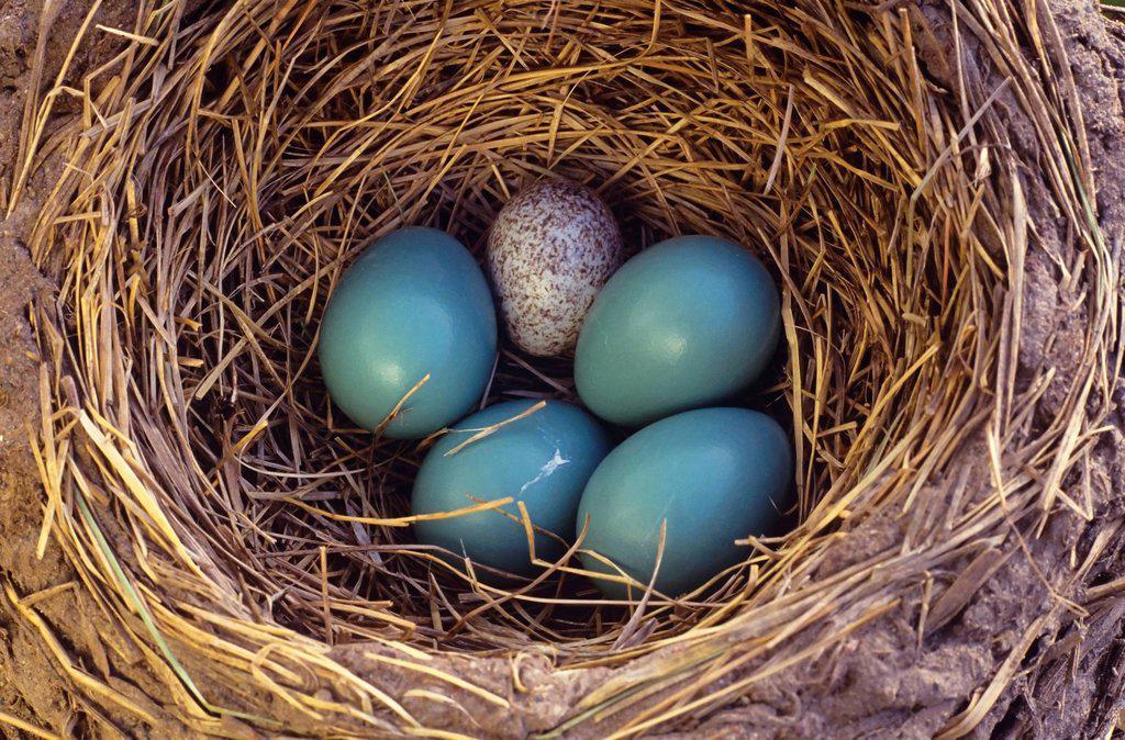 A cowbird egg among robin eggs in a robin nests, Canada. : Stock Photo
