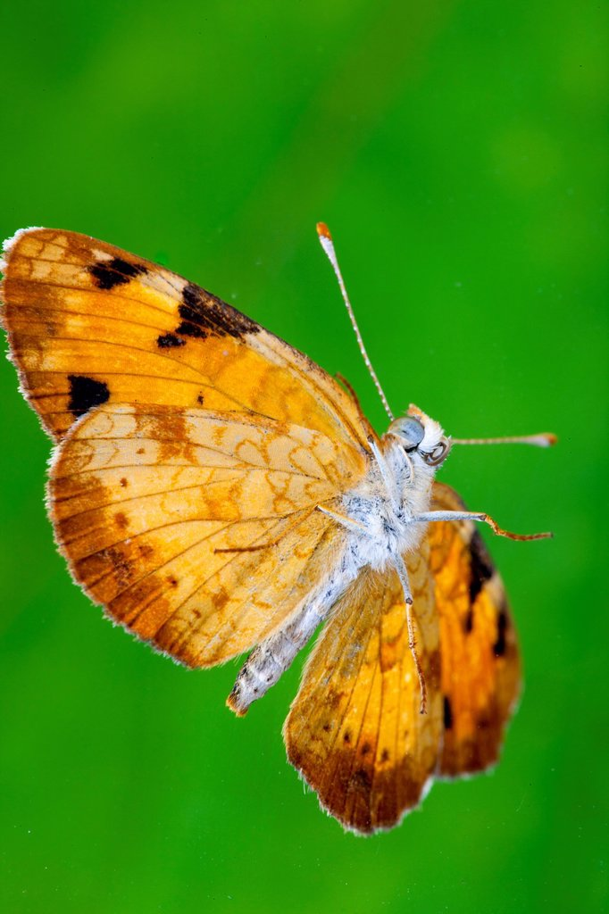 Pearly Crescentspot Butterfly, Phyciodes tharos : Stock Photo