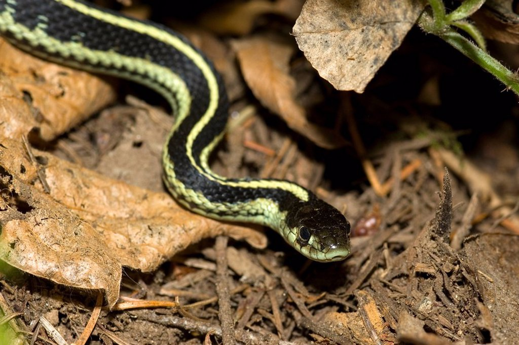 Garter Snake, Canada : Stock Photo