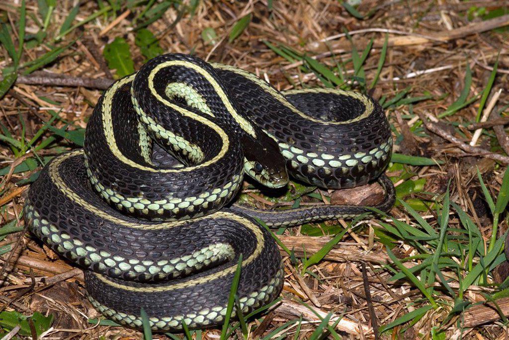 Stock Photo: 1990-5341 Garter Snake, Canada