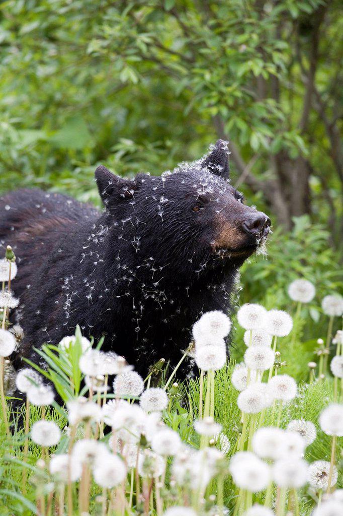 Stock Photo: 1990-53469 Black bear Ursus americanus in a field of dandelions, Canada.