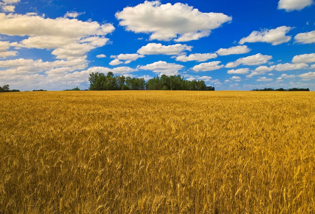 Mature grain field and sky with cumulus clouds, near Manor, Saskatchewan Canada : Stock Photo