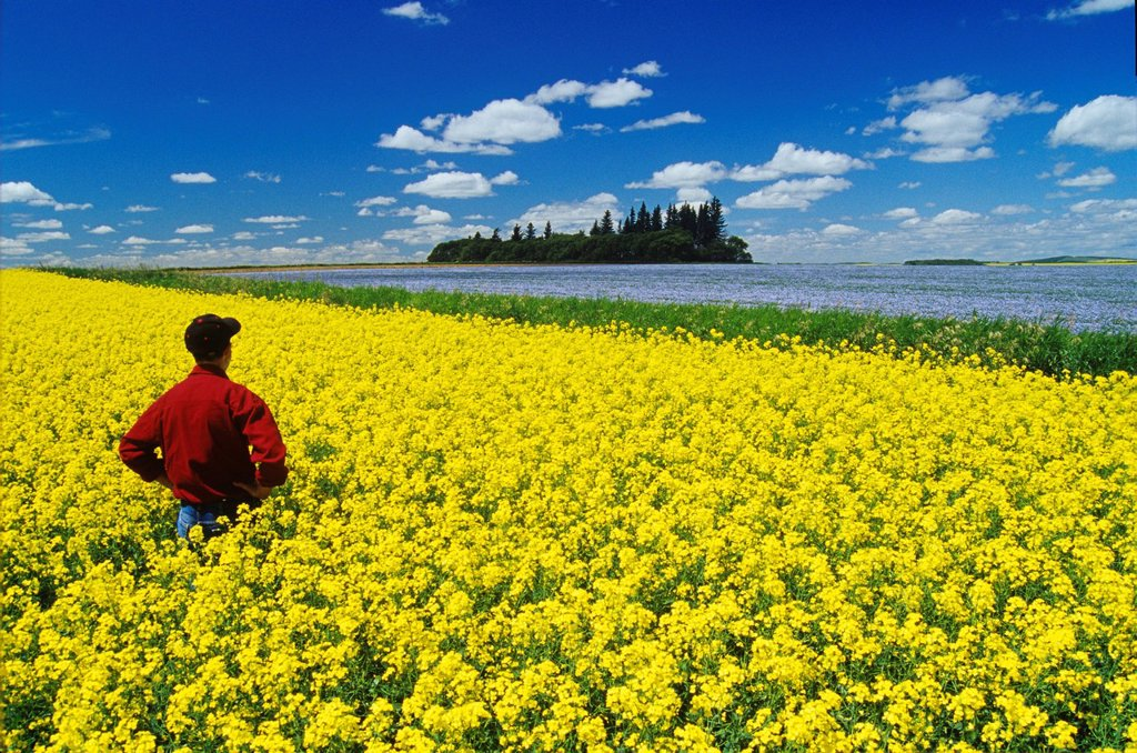 a man looks out over a flowering canola field with flax in the background and a sky filled with cumulus clouds, Tiger Hills near Somerset, Manitoba, Canada : Stock Photo