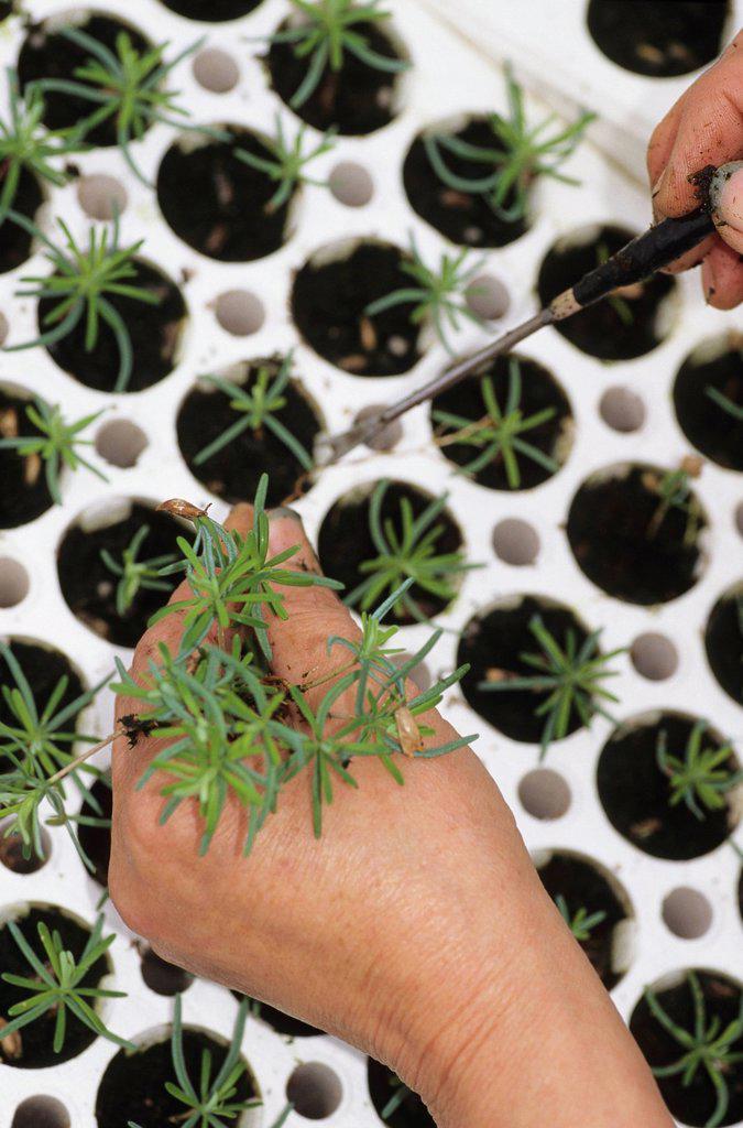 Planting tree seedlings at nursery,Telkwa, British Columbia, Canada. : Stock Photo