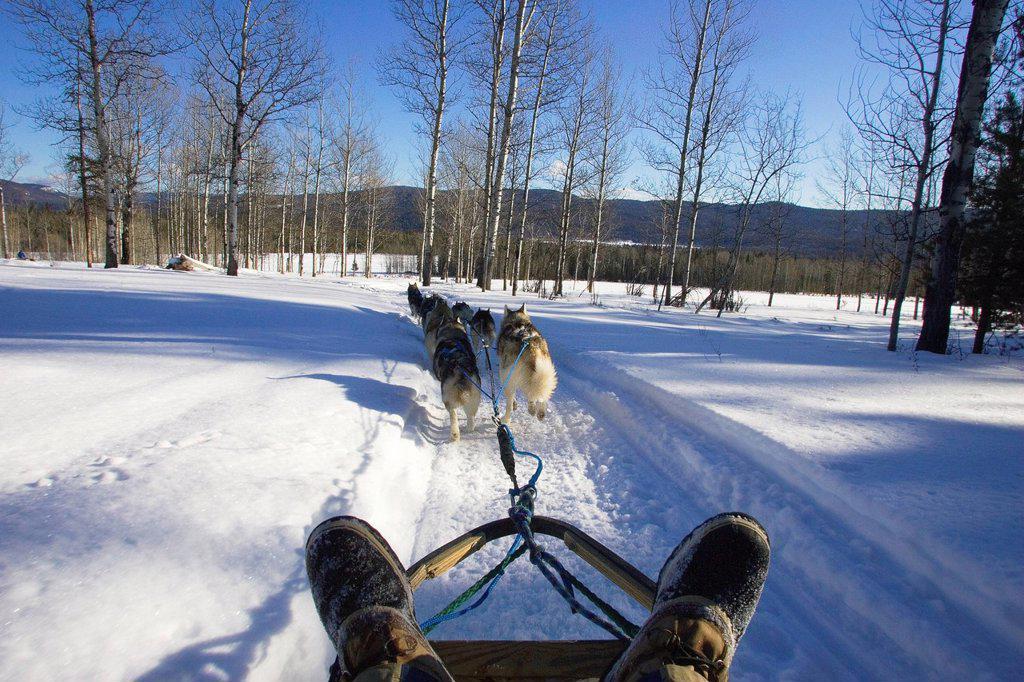 Dogsledding in the Cariboo region of British Columbia, Canada : Stock Photo