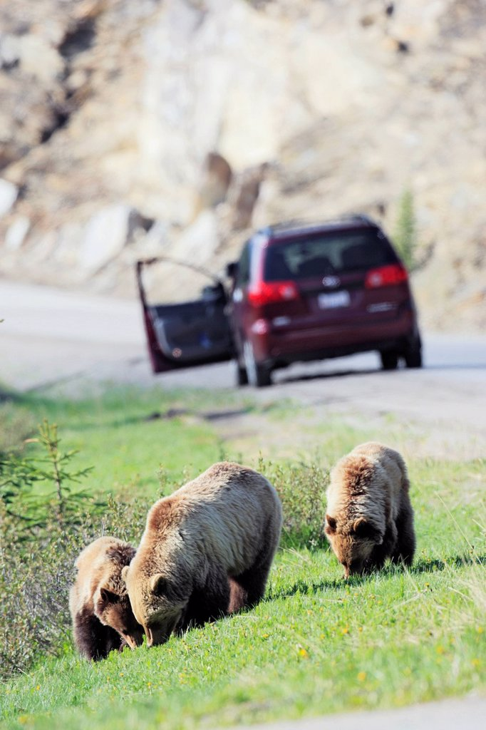 Grizzly bear Ursus arctos horribilis family grazing beside a park road with tourists in the background watching the bears, Jasper National Park, Alberta, Canada : Stock Photo