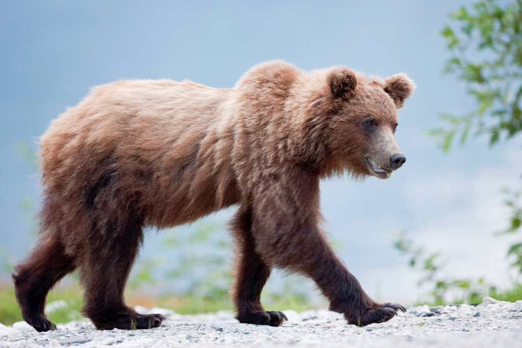 Grizzly Bear Ursus arctos, Haines, Alaska, United States of America : Stock Photo