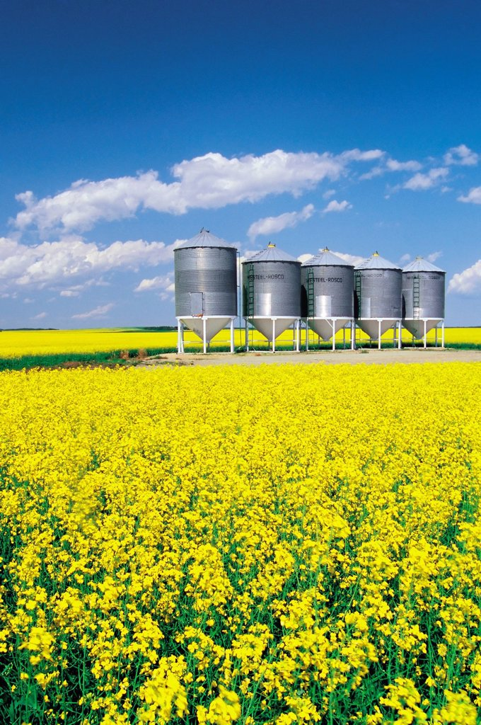 Blooming canola field with grain bins in the background, Tiger Hills, Manitoba, Canada : Stock Photo