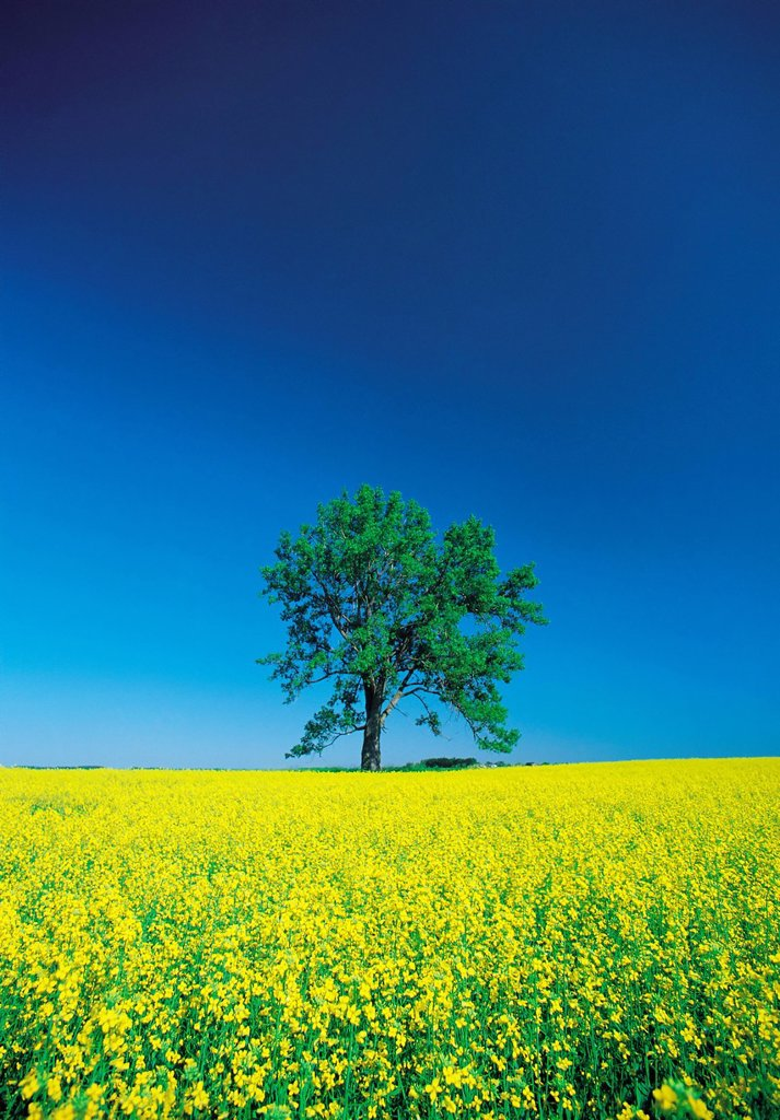Stock Photo: 1990-54288 Blooming canola field with lone tree in the background near Carman, Manitoba, Canada