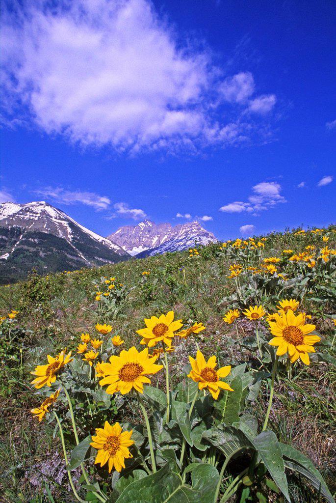 Balsamroot flowers, Waterton National Park, Alberta, Canada : Stock Photo