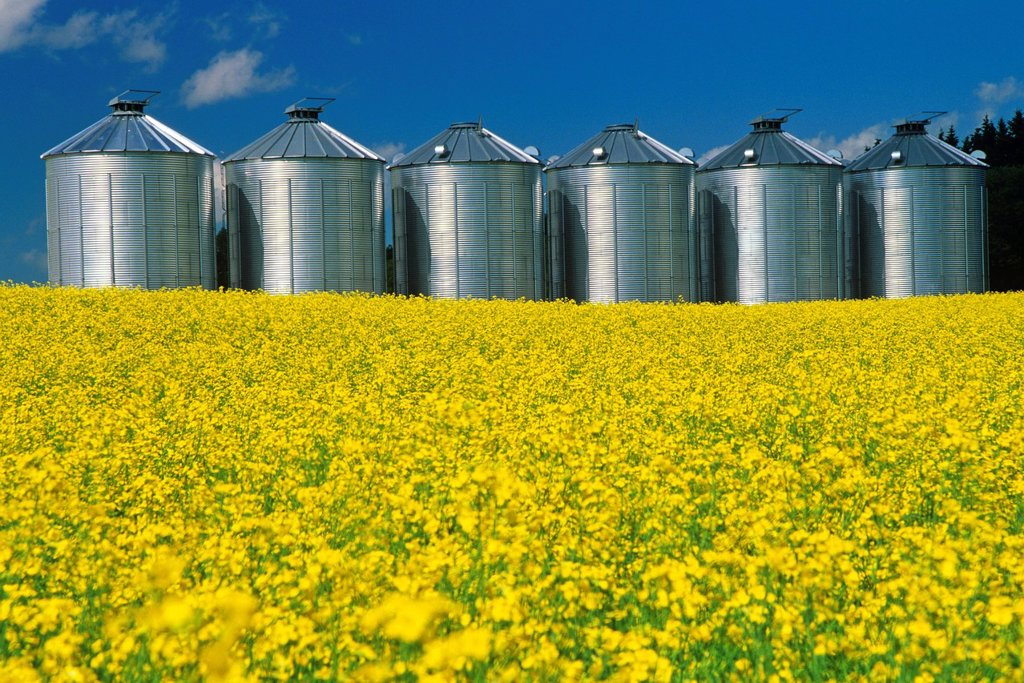Stock Photo: 1990-54811 flowering canola with grain storage binssilos in the background, near Somerset, Manitoba, Canada