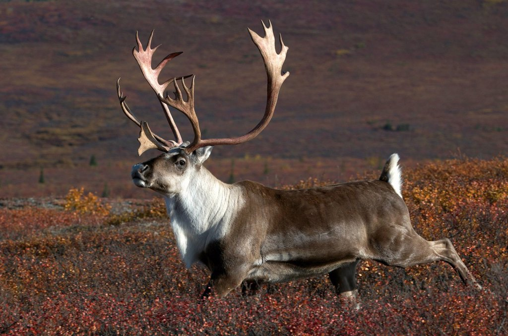 Stock Photo: 1990-54916 Barren_ground bull caribou with antlers running in high tundra and autumn colors, Rangifer tarandus, Denali National Park, Alaska, United States of America