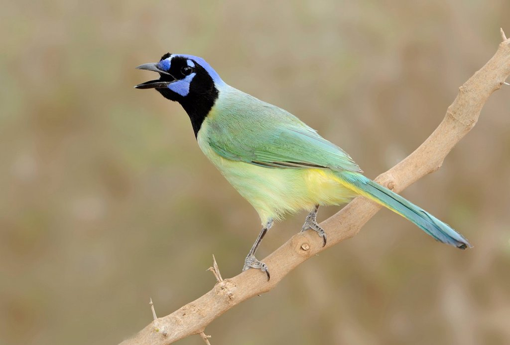 Green Jay Cyanocorax yncas _ Santa Clara Ranch, Texas, United States of America : Stock Photo
