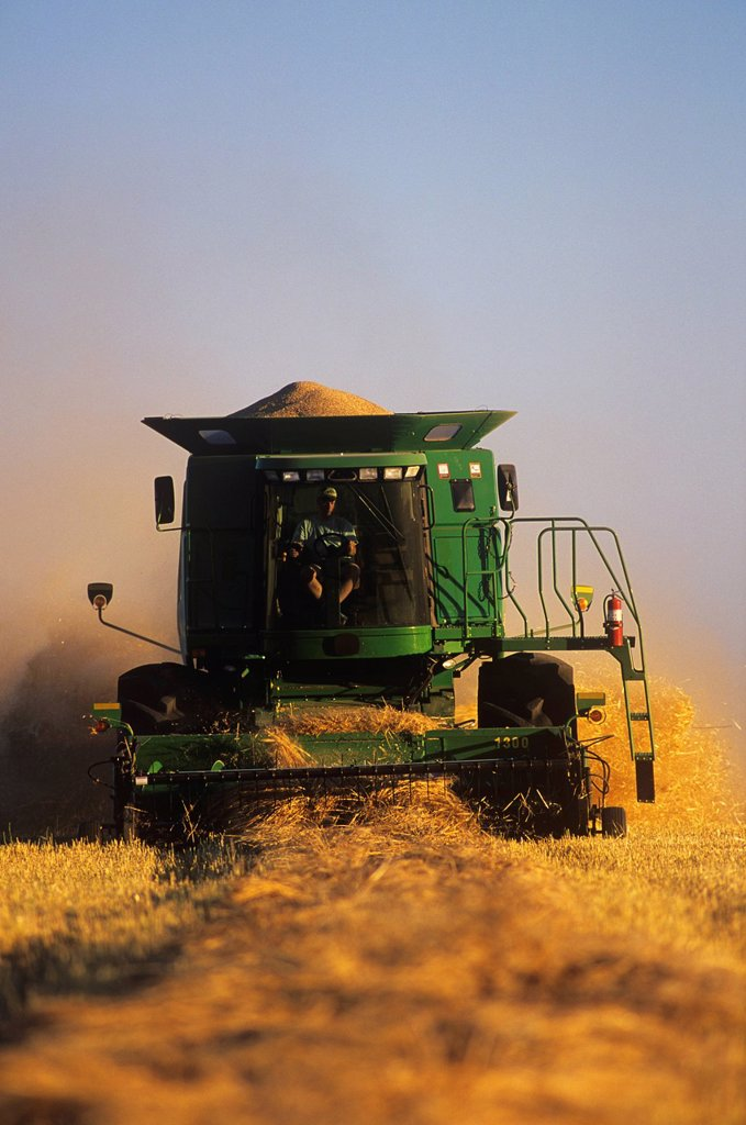 Barley harvest, Dugald, Manitoba, Canada. : Stock Photo