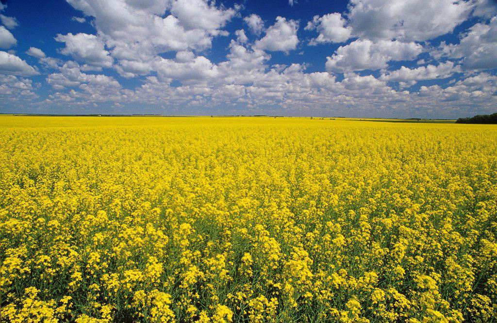 Fields of Canola near Pipestone, Manitoba, Canada. : Stock Photo