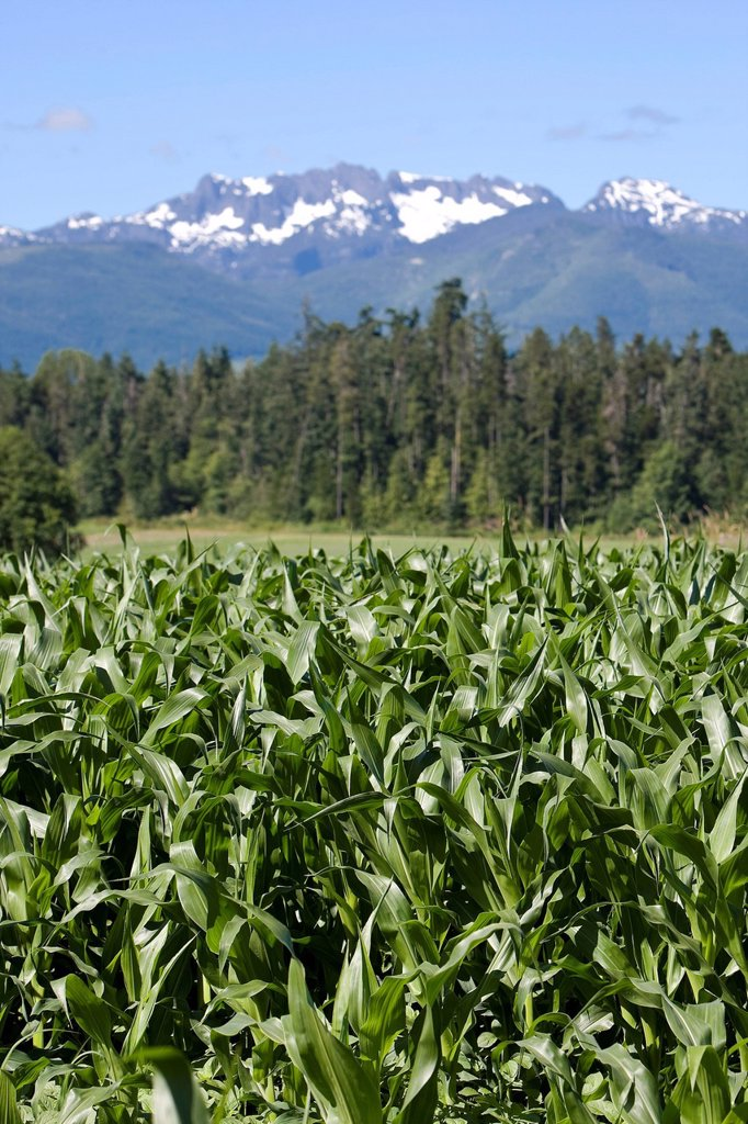 Corn in the field and Mt Arrowsmith in the background in a scenic near Coombs. Qualicum Beach, Central Vancouver Island, British Columbia, Canada. : Stock Photo