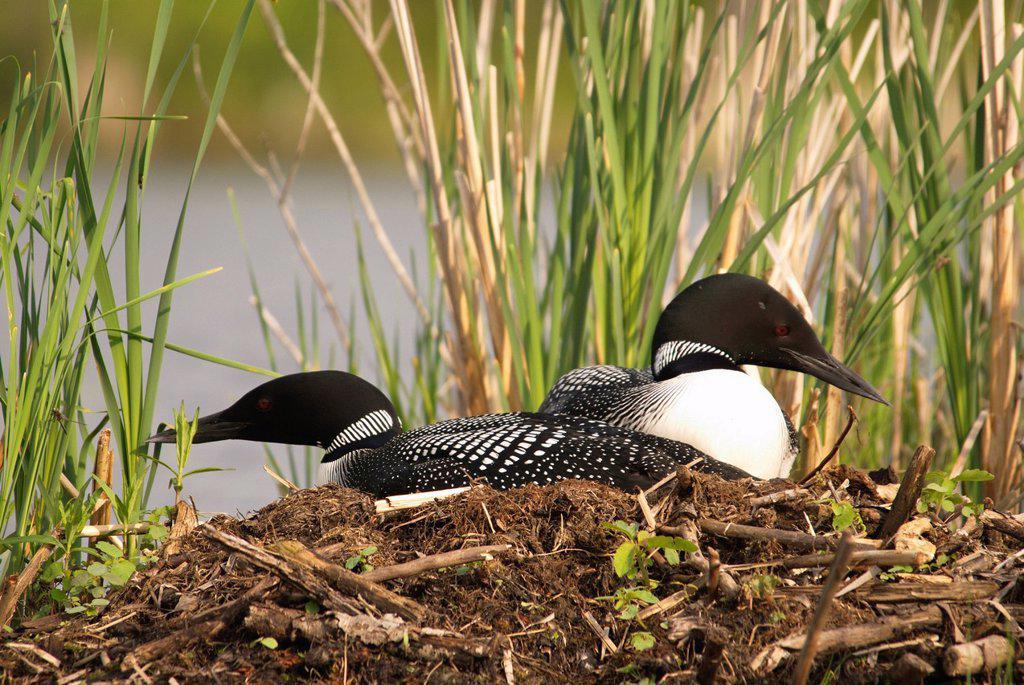 Loons in nest, Muskoka, Ontario, Canada : Stock Photo