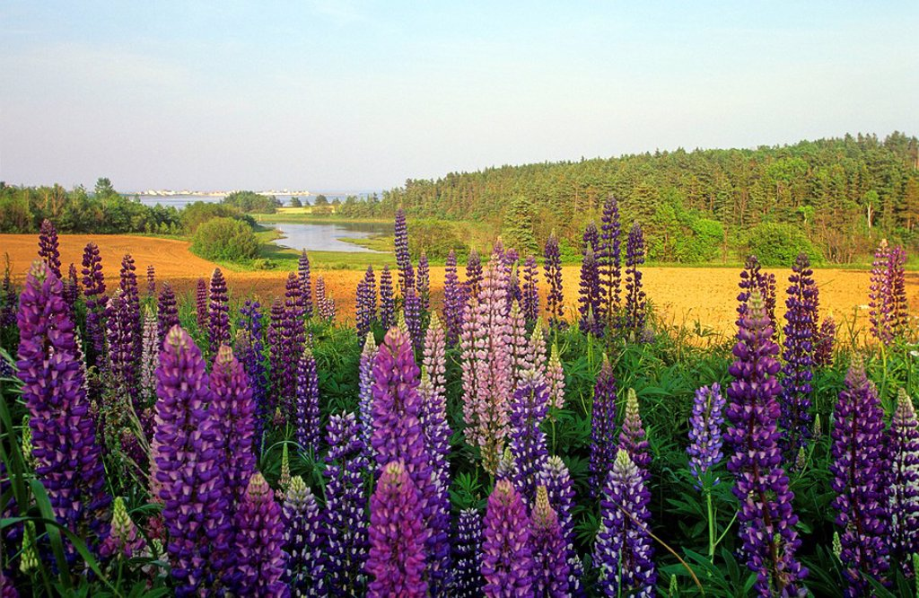 Stock Photo: 1990-5694 Lupines growing along bay at Stanley Bridge, Prince Edward Island, Canada