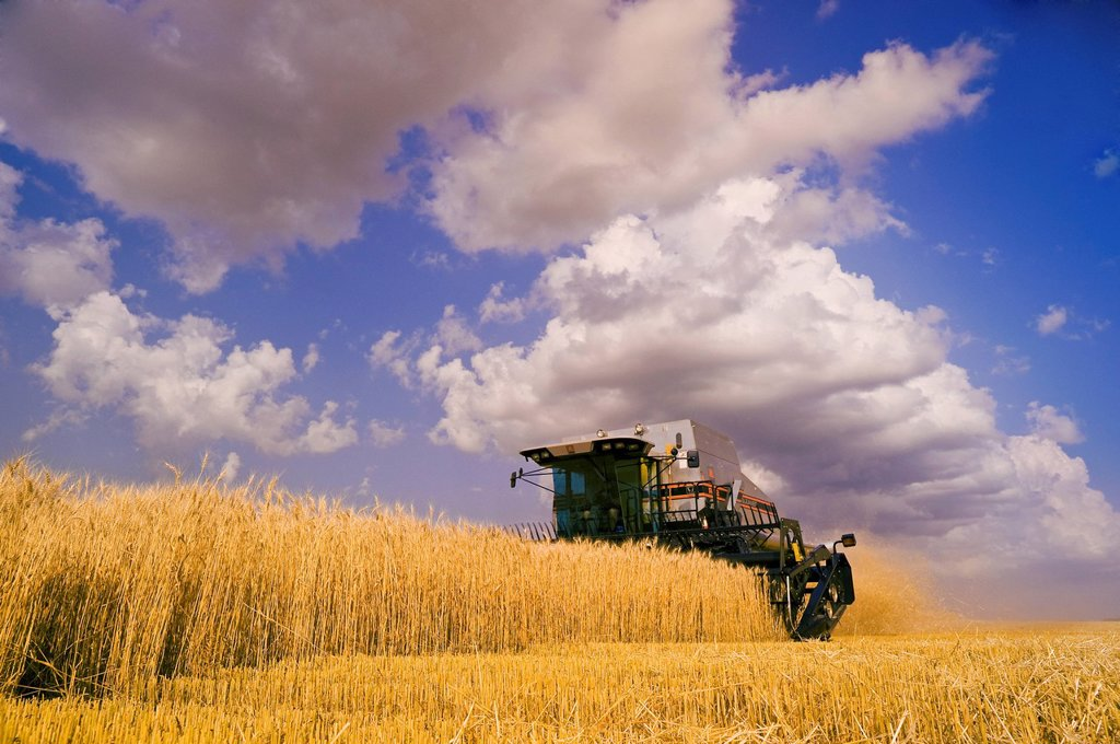 A combine harvesters works in a field of winter wheat, near Lorette, Manitoba, Canada : Stock Photo