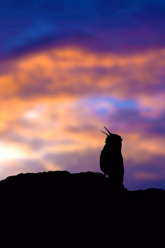 Canyon wren Catherpes mexicanus calling on territory, Okanagan Valley, southern Britsih Columbia, Canada : Stock Photo