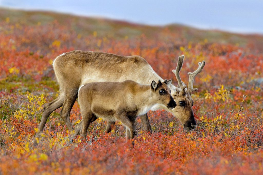 Stock Photo: 1990-57590 Barrenground caribou mother Rangifer tarandus and calf on the autumn tundra prior to winter migration, Barrenlands, central Northwest Territories, Arctic Canada