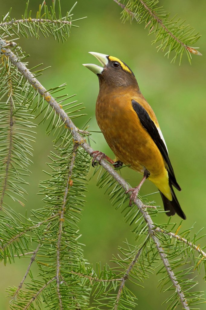 Stock Photo: 1990-57664 Evening Grosbeak Coccothraustes vespertinus perched on a branch in the Okanagan Valley, British Columbia, Canada.