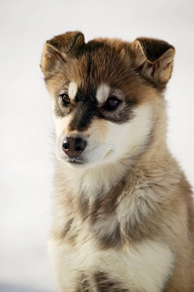 Husky puppy, Northern Canada : Stock Photo