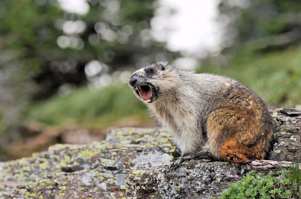 Stock Photo: 1990-57934 Yellow_bellied marmot Marmota flaviventris whistling, Glacier National Park, Montana, United States of America