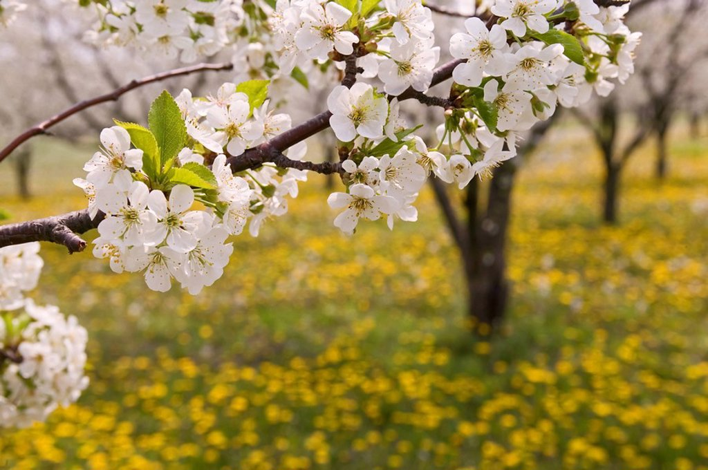 spring flower, Blossoming Cherry Trees near Devils Punch Bowl, Ridge Road, Hamilton, Ontario, Canada : Stock Photo