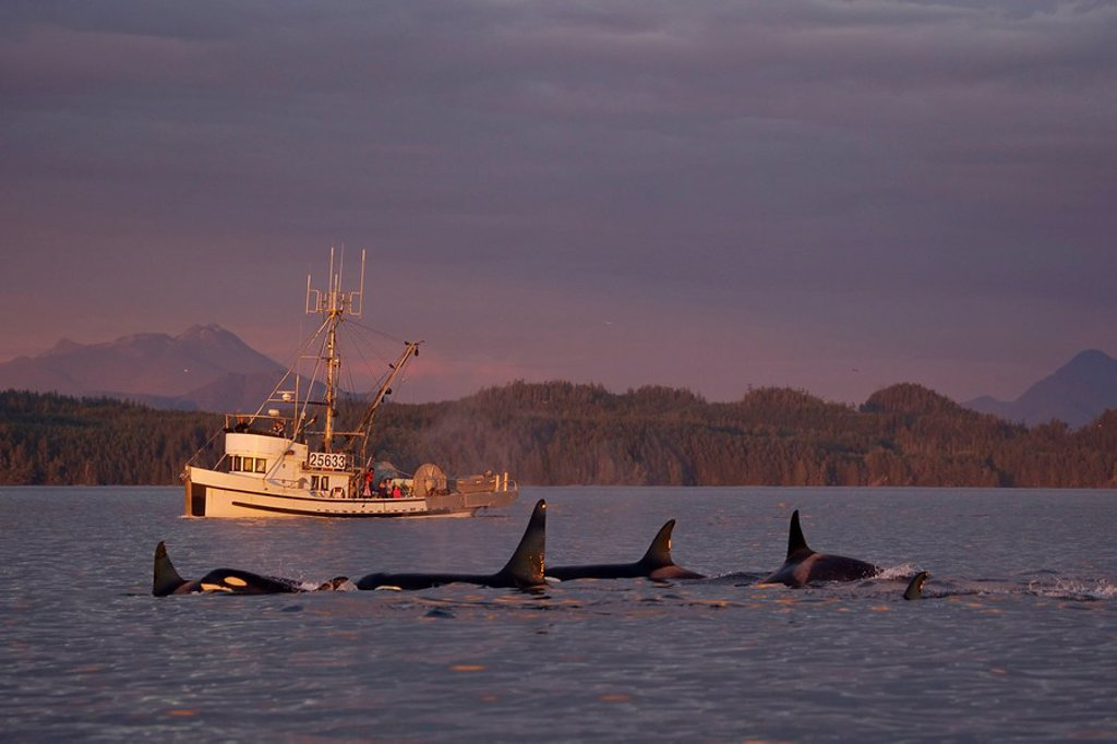 Stock Photo: 1990-5818 Orcas at sunset  Killer Whales off Northern Vancouver Island, British Columbia, Canada