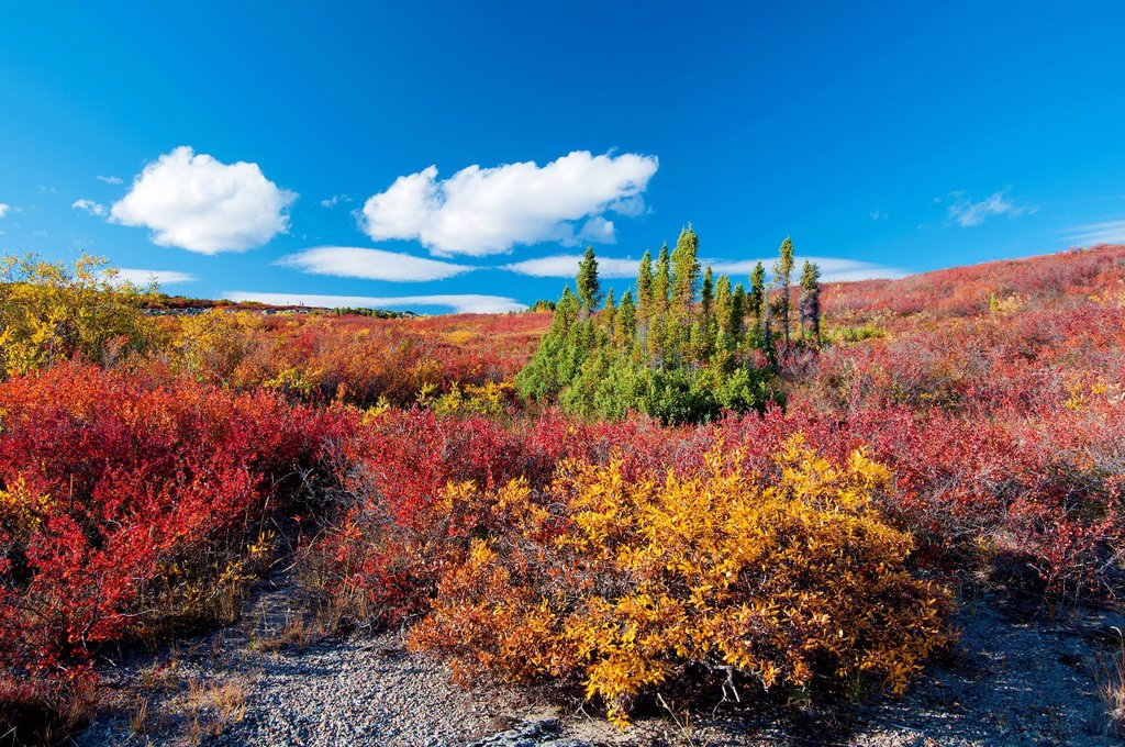Stock Photo: 1990-58235 Autumn tundra, Barrenlands, central Northwest Territories, Arctic Canada. Orange/reddish dwarf birch Betula glandulosa and yellow willow Salix spp