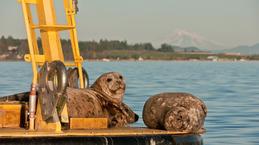 Stock Photo: 1990-58281 Harbour seals Phoca vitulina richardsi lounge on a buoy in Saanich Inlet on Vancouver Island, British Columbia, Canada