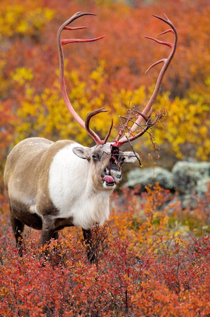 Stock Photo: 1990-58629 Barrenground caribou bull Rangifer tarandus eating shed antler velvet prior to the autumn rutting season, Barrenlands, central Northwest Territories, Arctic Canada