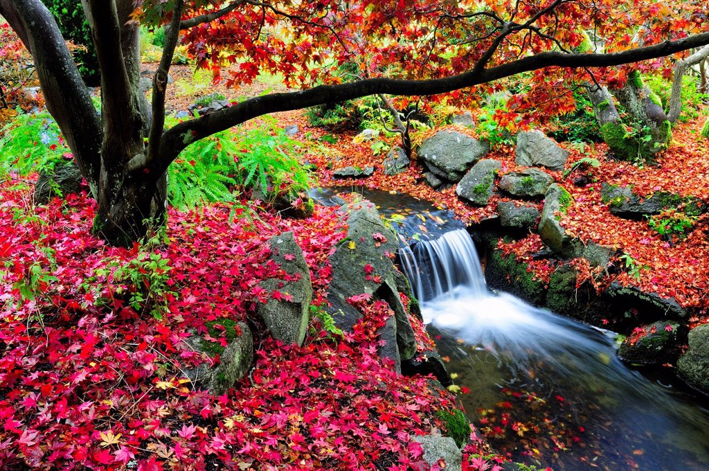 A creek with a waterfall under a Japanese Maple with fall colours in Beacon Hill Park, Victoria, BC. : Stock Photo