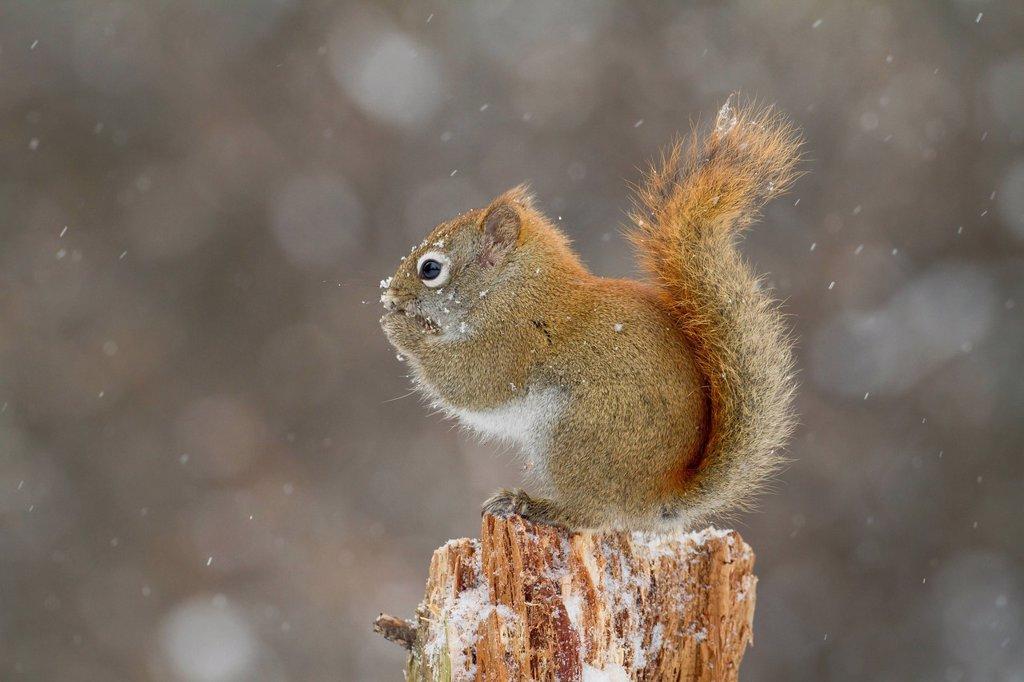 American Red Squirrel Tamiasciurus hudsonicus eating in winter in Algonquin Provincial Park, Ontario, Canada : Stock Photo