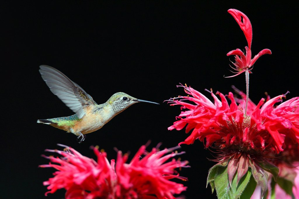 Stock Photo: 1990-59884 Rufous Hummingbird Selasphorus rufus
