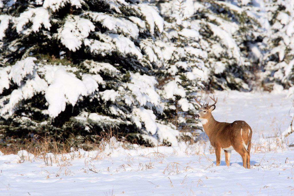 Stock Photo: 1990-59918 White_tailed deer buck in Kananaskis Country, Alberta, Canada