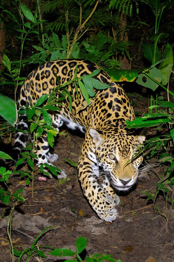 Jaguar Panthera onca, tropical rain forest, Belize, Central America : Stock Photo